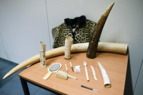 La Belgique se débarrasse de son ivoire, mais la réglementation n'est pas sans faille